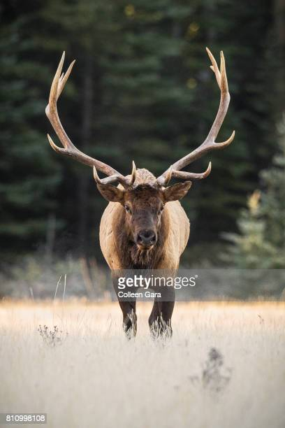 a large bull elk in banff national park, alberta, canada - wapiti foto e immagini stock