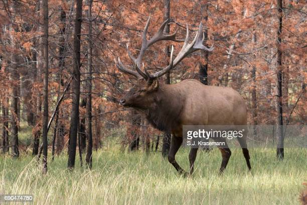 Large Bull Elk walking in previously burned forest.