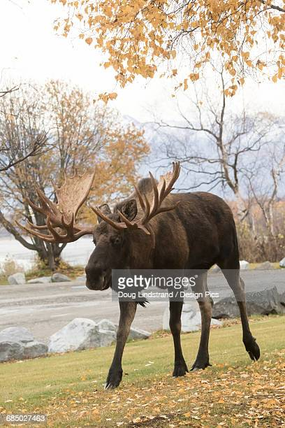 Large bull moose (alces alces) looking for cow moose, walking along the side of the road in autumn