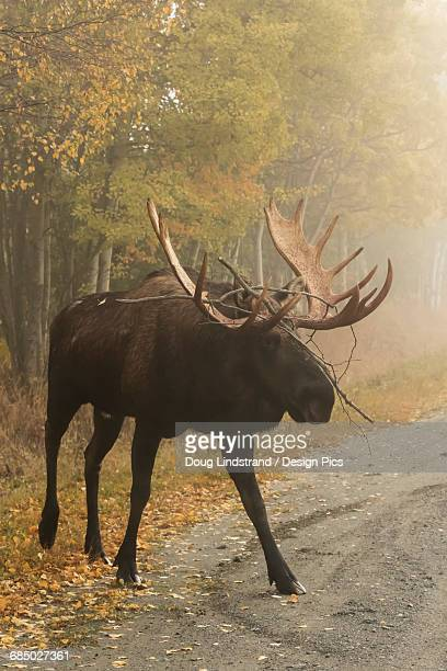 Large bull moose (alces alces) on a road on a foggy morning near Point Woronzof Park