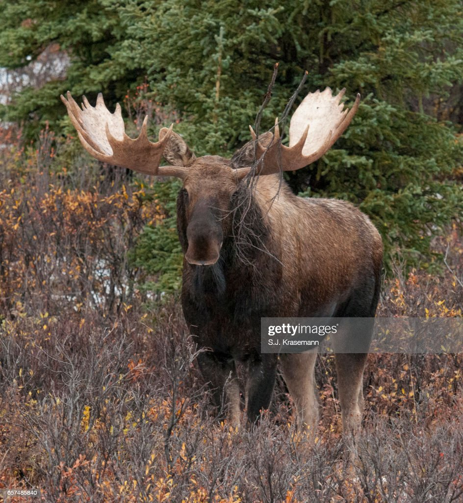 Large Bull Moose Staring Straight At Viewer Stock Photo - Getty Images