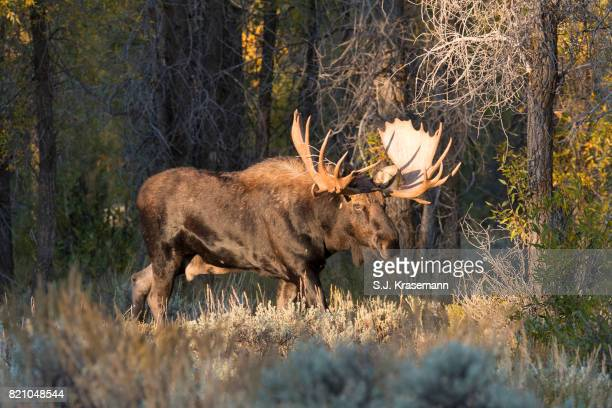 Large bull moose walking through autumn grasses at edge of forest.