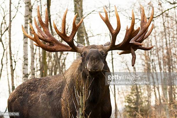 Large bull moose (alces alces) with large rack in rutting season, autumn