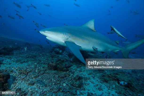 a large bull shark (carcharhinus leucas) at the bistro dive site in fiji. - bull shark stock pictures, royalty-free photos & images