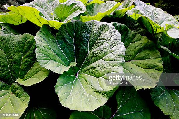 Large Butterbur -Petasitidis folium- leaves in the Wutach Gorge, Black Forest, Baden-Wuerttemberg, Germany, Europe