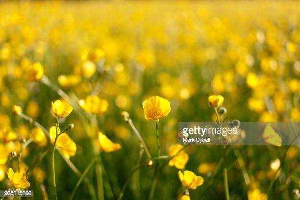 large buttercup field - mark dyball stock photos and pictures