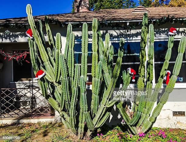 Sherman Oaks Ca December 25 2014 A large cactus is adorned with Santa hats to commemorate Summer Christmas on Christmas Day