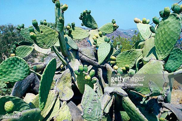 large cactus - fernando bengoechea stock pictures, royalty-free photos & images