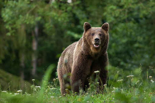 Large Carpathian brown bear portrait in the woods Europe Romania. 1017220160