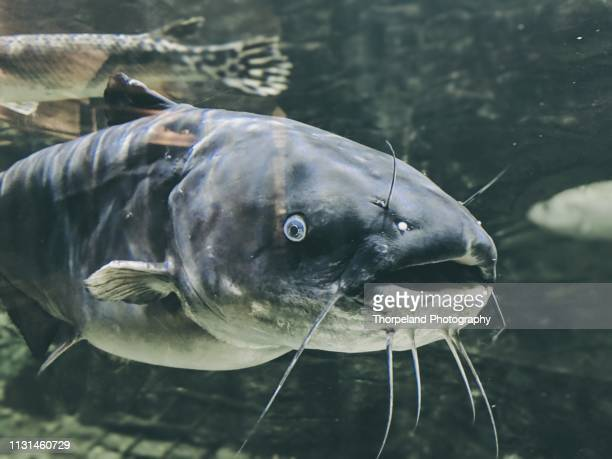 large catfish - catfish stock pictures, royalty-free photos & images