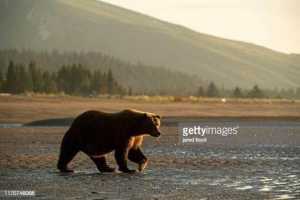 a large coastal brown bear back lit by the rising sun on the banks of cook inlet alaska - paisajes de alaska fotografías e imágenes de stock