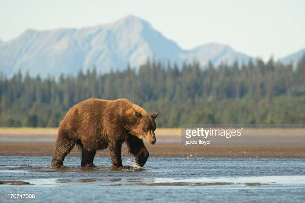 a large coastal brown bear in alaska walks across a tidal delta - bear stock pictures, royalty-free photos & images