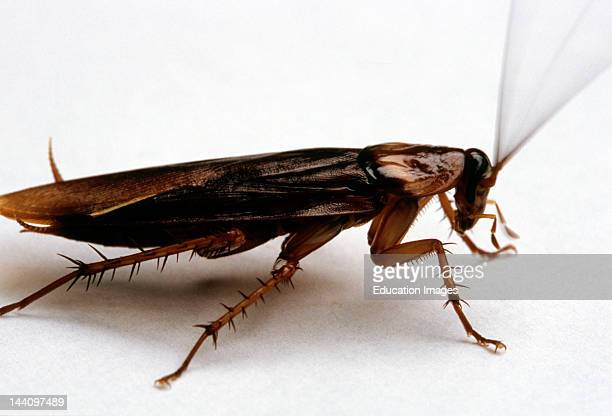 Large Cockroach On A White Surface
