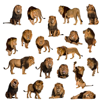 Large collection of adult lion Isolated on white background. 889496904