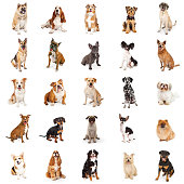 Large Collection of Common Breed Dogs