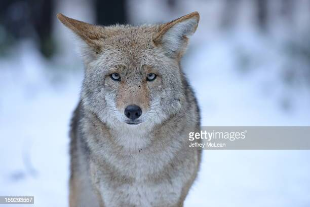 CONTENT] A large coyote stares straight into the camera in Yosemite National Park Snow and pine trees out of focus in the background It was winter...