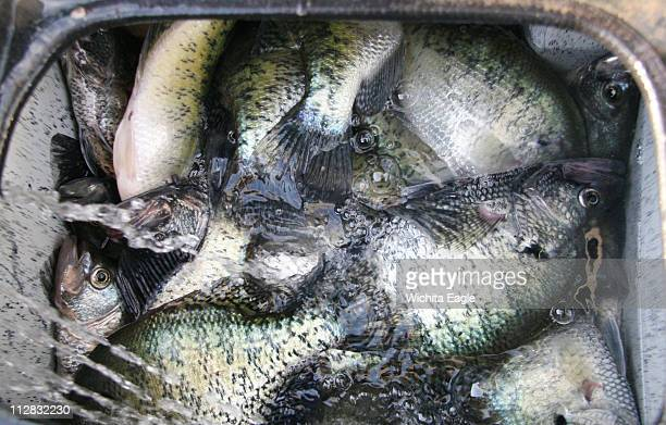 A large crappie catch is displayed on Glen Elder Lake in Kansas in April 2010