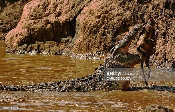 TOPSHOT A large crocodile eats a Thompson gazelle during the annual wildebeest migration in the Masai Mara game reserve on September 14 2016 / AFP /...