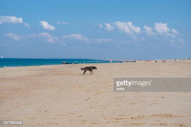 A large dog walking on a beach.