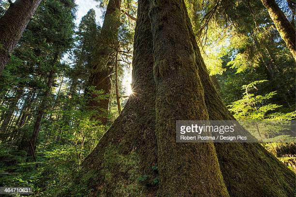 large douglas fir trees in the stoltman grove of carmanah walbran provincial park - carmanah walbran provincial park stock pictures, royalty-free photos & images