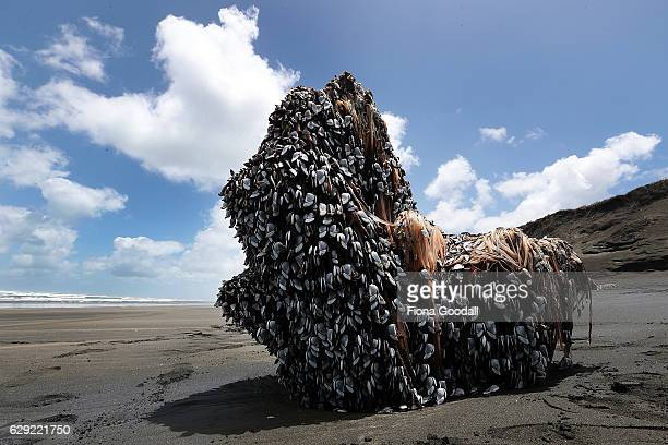 A large driftwood tree covered in gooseneck barnacles sits in the sun on Auckland's west coast on December 12 2016 in Auckland New Zealand The large...