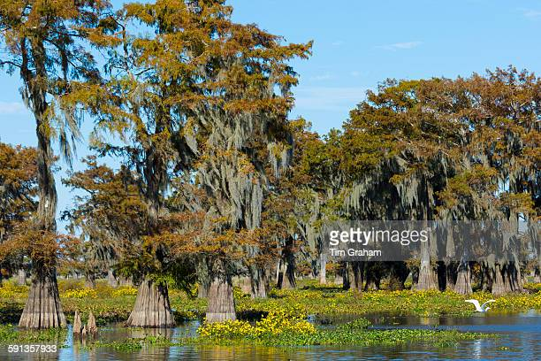 Large Egret flying by Bald cypress trees Taxodium distichum covered with Spanish Moss Atchafalaya Swamp Louisiana USA