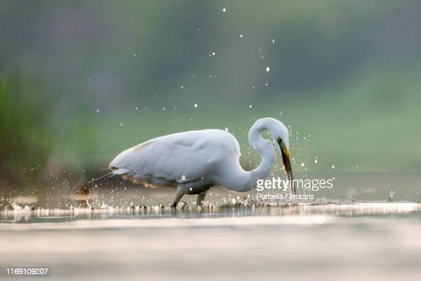 large egret, namyangju, south korea - purbella stock photos and pictures