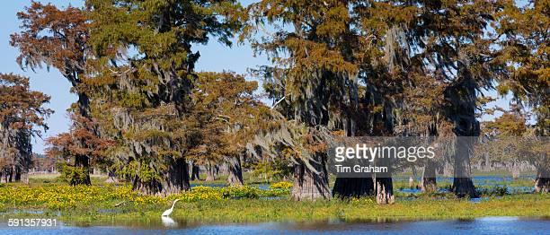 Large Egret wading by Bald cypress trees Taxodium distichum covered with Spanish Moss Atchafalaya Swamp Louisiana USA