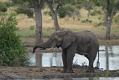 large african elephant bull loxodonta africana