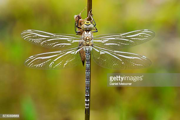 Large Emperor Dragonfly -Anax imperator-, freshly hatched, still drying and not fully coloured, Bavaria, Germany, Europe