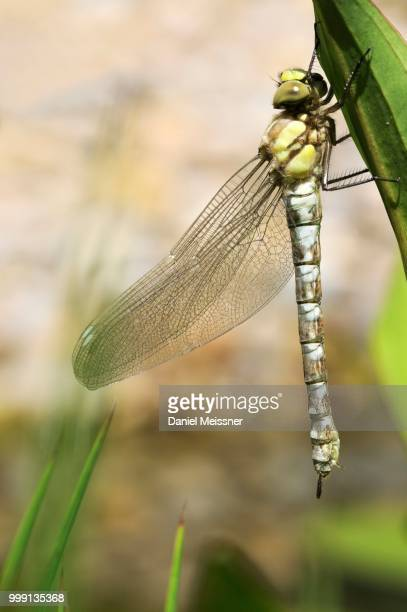 Large Emperor Dragonfly (Anax imperator), freshly hatched, still drying and not fully coloured, Bavaria, Germany