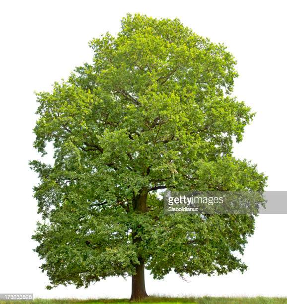 Large English Oak (Quercus robur) isolated on white.