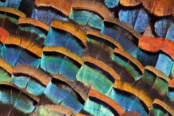 Large feather design of Oscellated Turkey Feathers