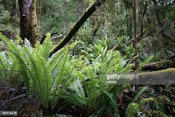 Große ferns wachsenden in Regen Wald auf Hawaii big island