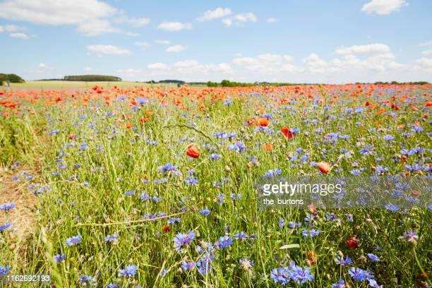 large field of red poppies and blue cornflowers in summer - wiese stock-fotos und bilder