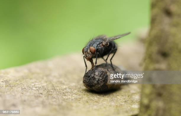 a large flesh fly (sarcophagidae) perching on and eating dung in the uk. - hertford hertfordshire stockfoto's en -beelden