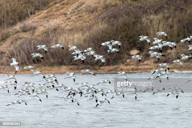 Large flock of Avocets, Recurvirostra, wading birds in flight over lagoon, wetlands and marshes in North Norfolk, England.