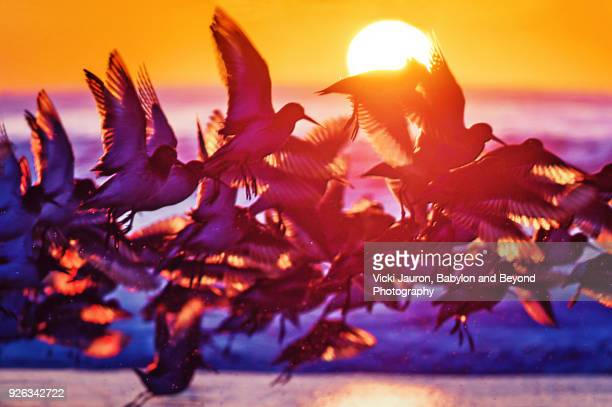 large flock of birds backlit against sunrise at jones beach, long island. - wader bird stock photos and pictures