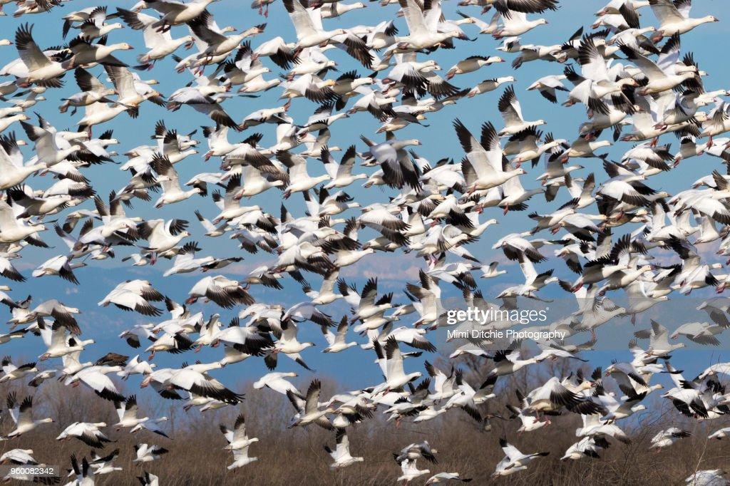 Large Flock of Birds : Stock-Foto