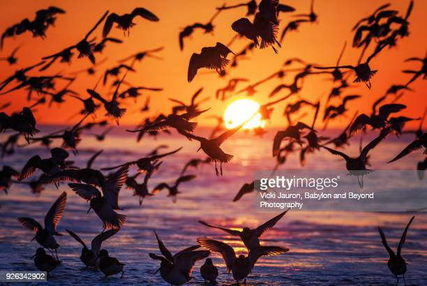 large flock of birds silhouetted against sunrise - wader bird stock photos and pictures