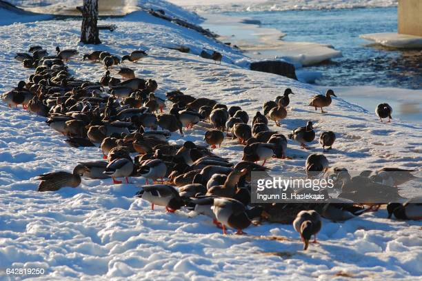 large flock of ducks by the river in kongsberg, norway. - verwaltungsbezirk buskerud stock-fotos und bilder