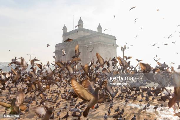 large flock of pigeons on open space with arch monument in background. - mumbai stock pictures, royalty-free photos & images