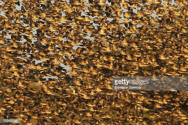 A large flock of redbilled quelea fly together at the Mashatu game reserve on July 25 2010 in Mashatu game reserve Botswana Mashatu is a 46000...