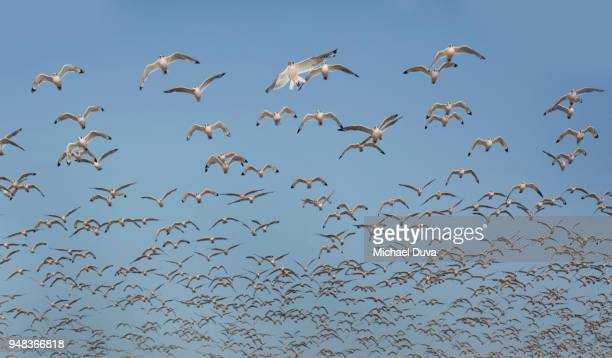 large flock of seagulls flying agains blue sky