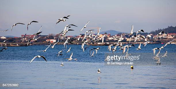 Large flock of seagulls flying