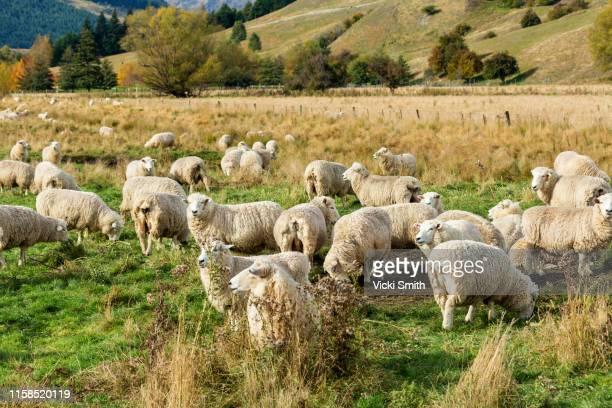 large flock of sheep - eden pastora fotografías e imágenes de stock