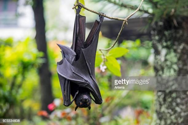 Large flying fox large fruit bat kalang kalong hanging in tree Indonesia