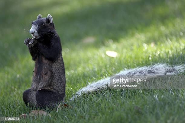 A large fox squirrel eats during the third round of the Transitions Championship at Innisbrook Resort and Golf Club on March 19 2011 in Palm Harbor...