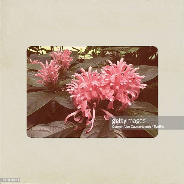 Large frilly pink flowers