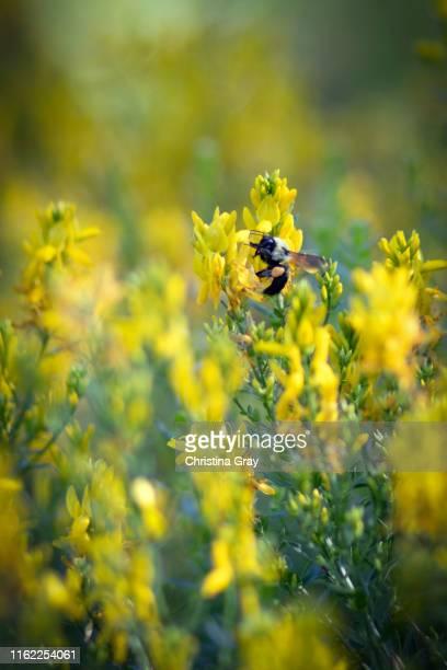 large fuzzy bumble bee on yellow flowers - christina grosse stock-fotos und bilder